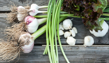 Garlic Planting Growing Harvesting Guide