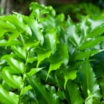 Holly Fern Growth and Care Guide