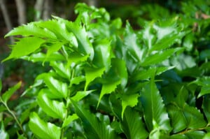 Holly fern Care Growing Guide