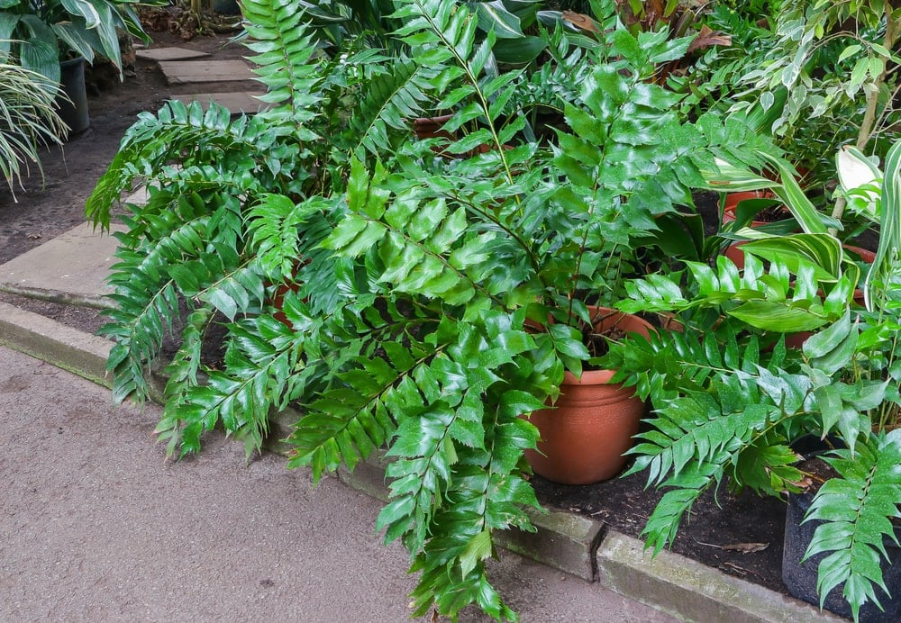Holly fern in a garden