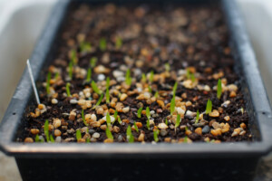 How To Grow Aloe From Seeds