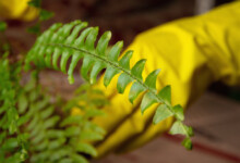 How To Transplant & Move A Fern