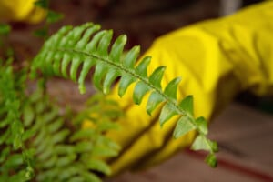 How To Transplant Move A Fern