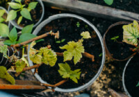 How to Grow Grapes in Containers or Pots
