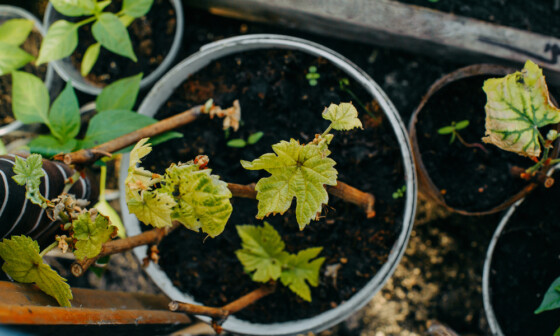 How to grow grapes in containerspots