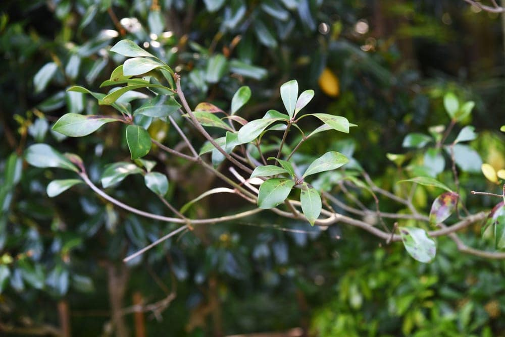 Japanese Cleyera Plant care growing guide
