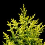 Lemon Cypress Plant Care & Growing Guide