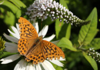 Gooseneck Loosestrife Care and Growing Guide
