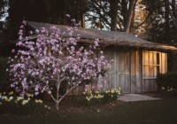 How to Grow And Care For A Magnolia Tree From A Seedling