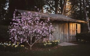 Magnolia Tree in an yard e1602729667260
