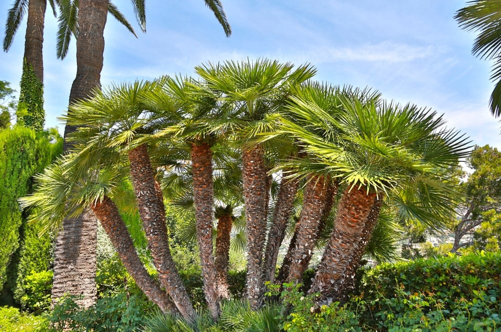 Mediterranean Fan Palm Care & Growing Guide