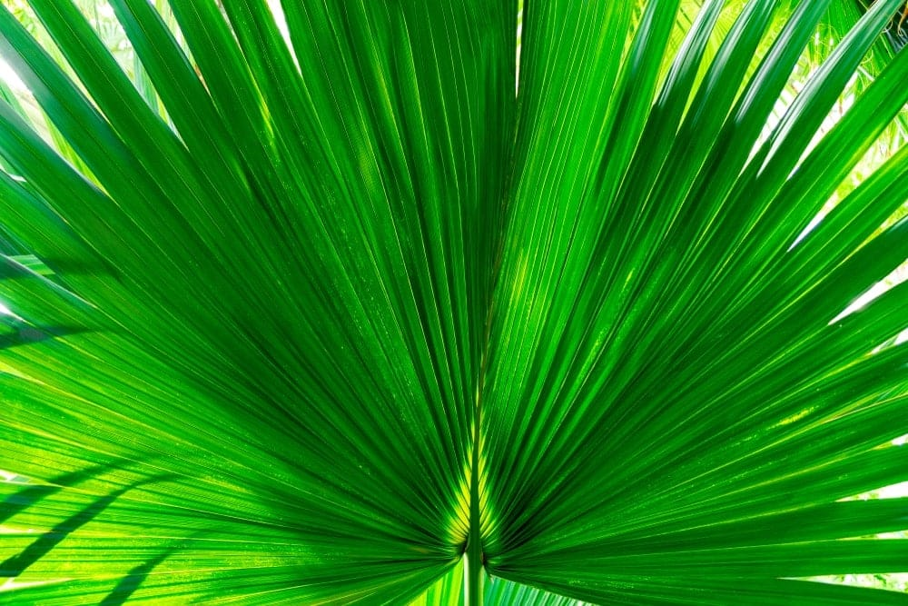 Mexican palm Care growing guide 1