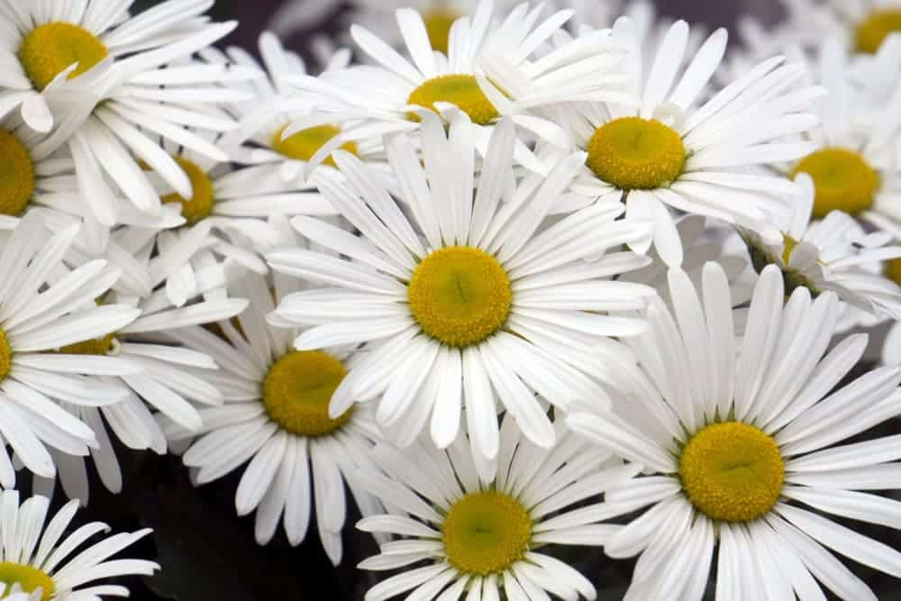 Montauk Daisy Plant Care & Growing Guide