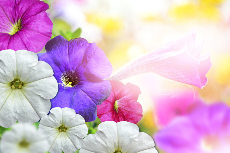 Morning Glories Care Growing Guide e1602643078235
