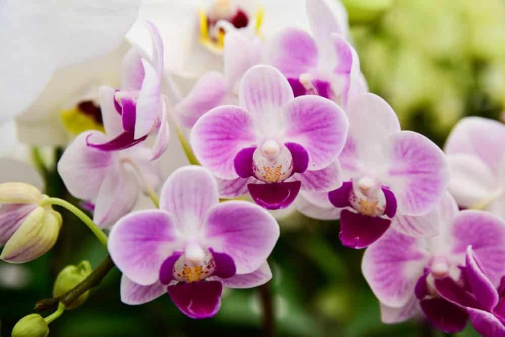 Moth Orchid 1