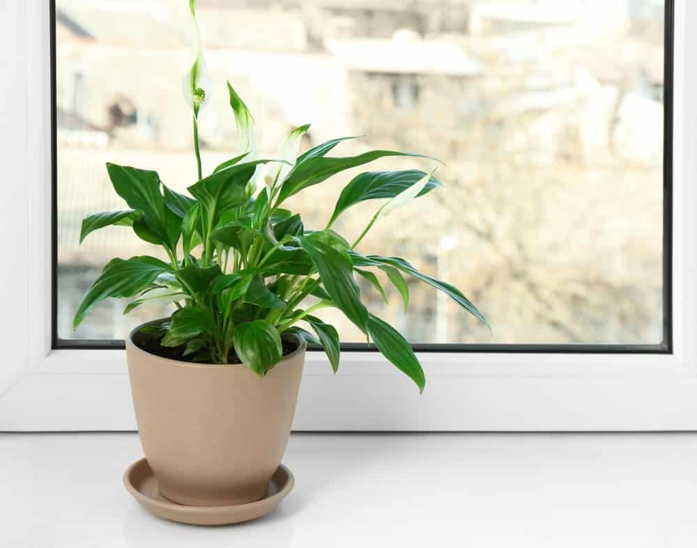 Peace Lily 2 1