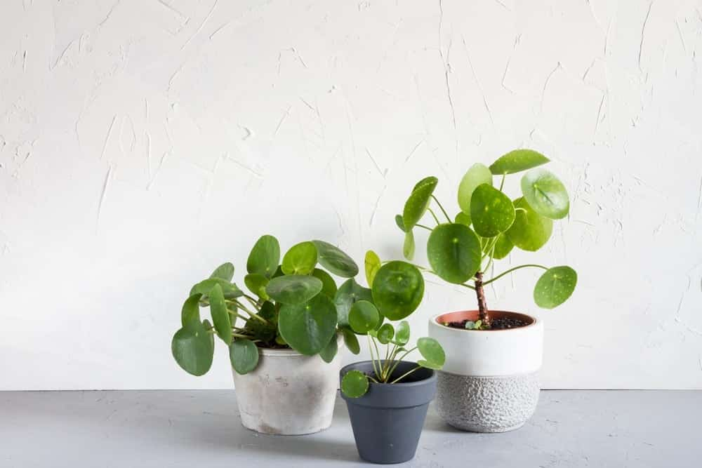 Yellow Pilea Leaves - Reasons & Treatments