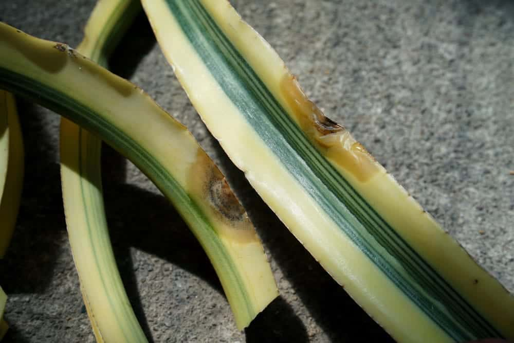 Yellow Sansevieria Leaves - Reasons & Treatment