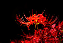 Spider Lily Care & Growing Guide