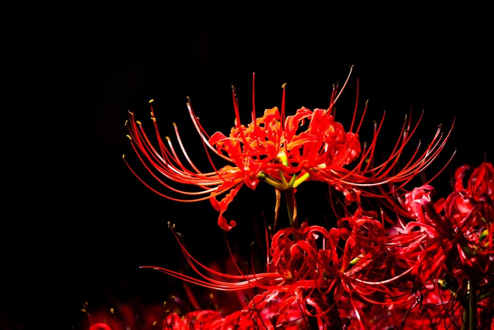 Spider Lily Care Growing Guide