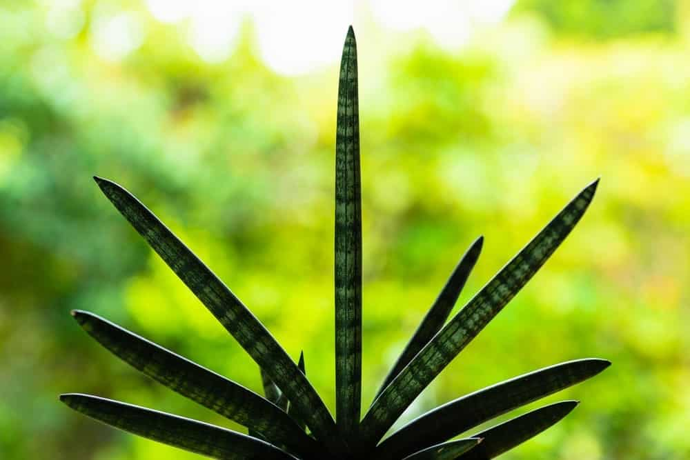 Starfish Sansevieria Plant Care & Growing Guide