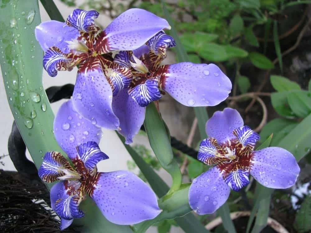 Walking iris blue