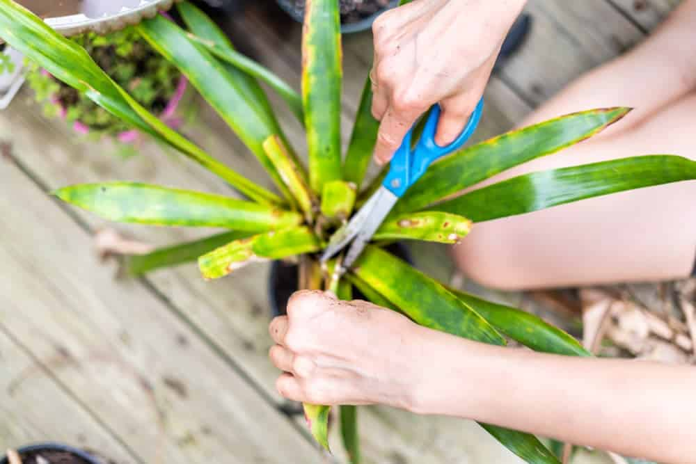 Yellow Dracaena Leaves - Reasons & Treatments