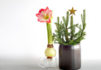 How to Grow Amaryllis in Water