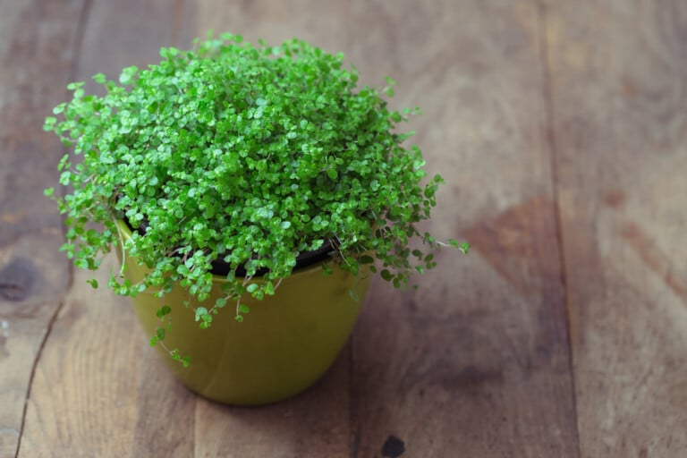baby tears plant care Growing guide
