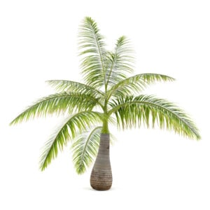 Bottle Palm Care & Growing Guide