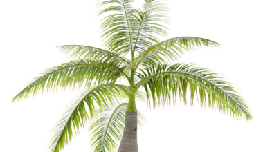bottle palm care growing guide