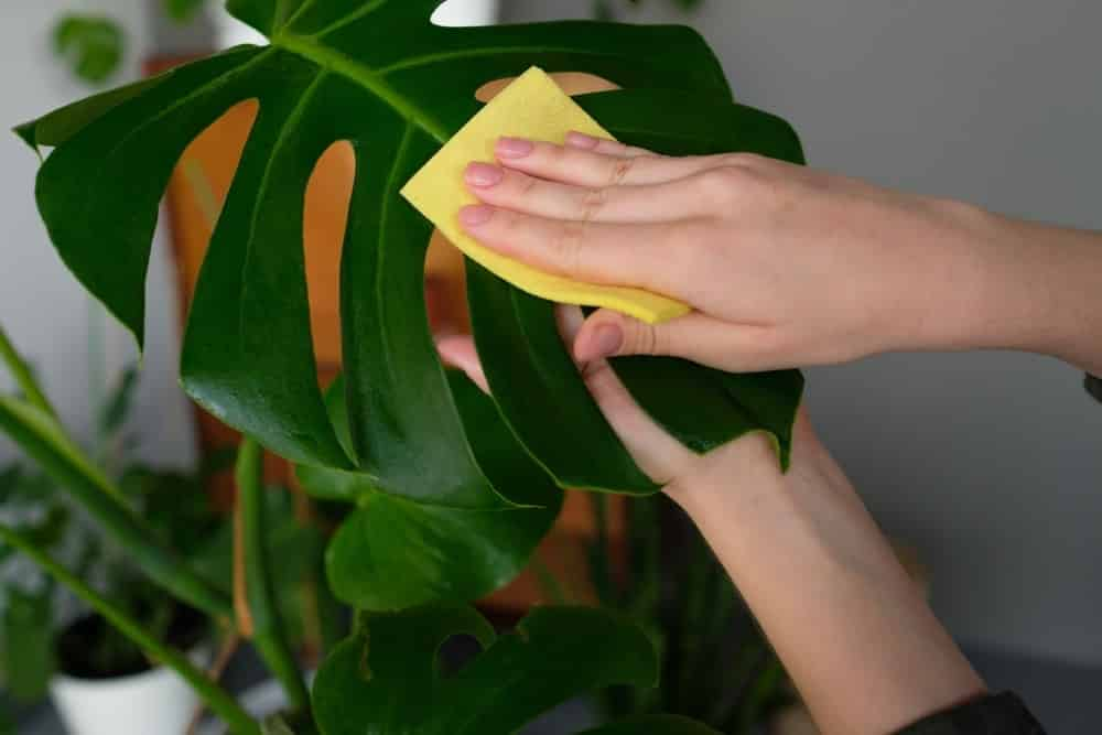 How to Clean Your Houseplants