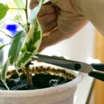 Should You Cut off Dead Leaves From an Indoor Plant?