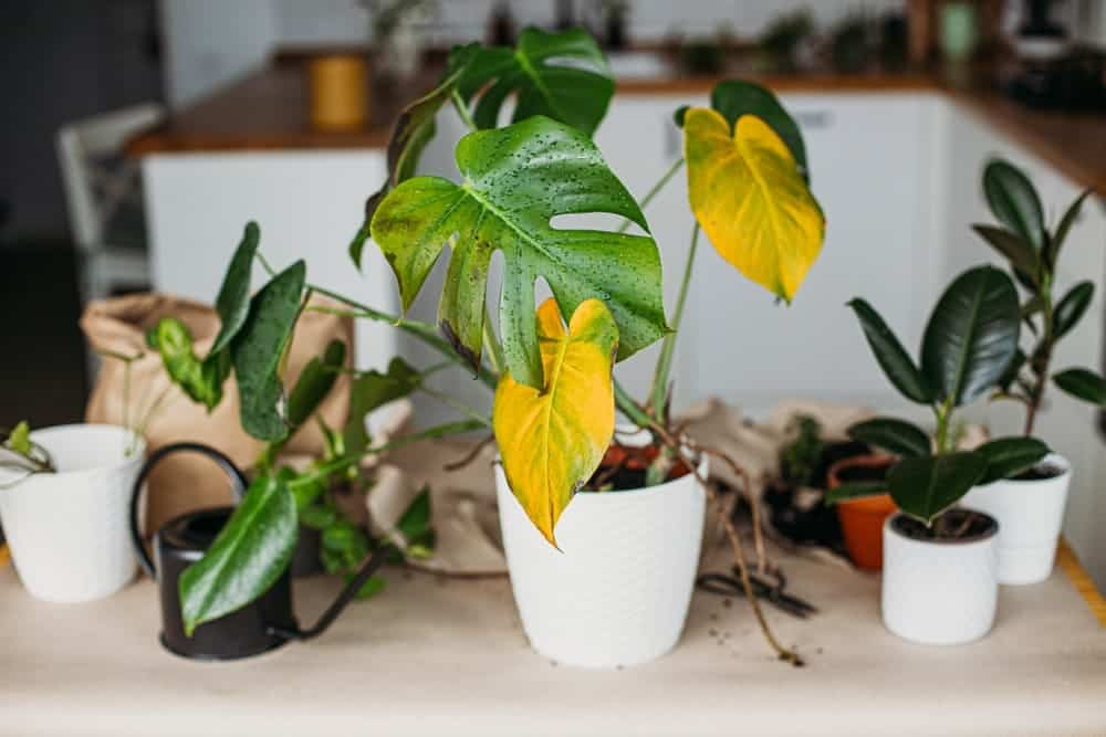 houseplant yellow leaves