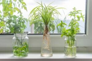 houseplants in water