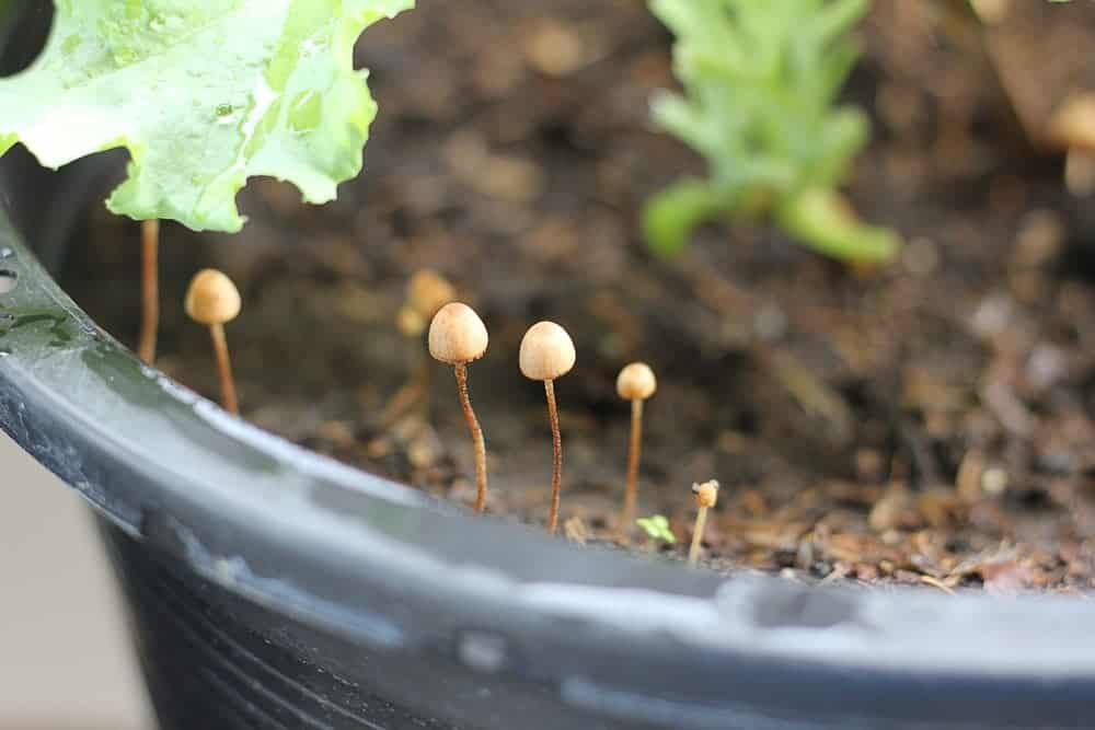 Mushroom & Fungi Growing in Houseplant's Soil - What to Do?