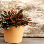 Peperomia Plant Care and Growing Guide