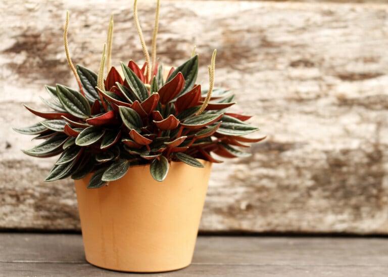 peperomia plant care growing guide