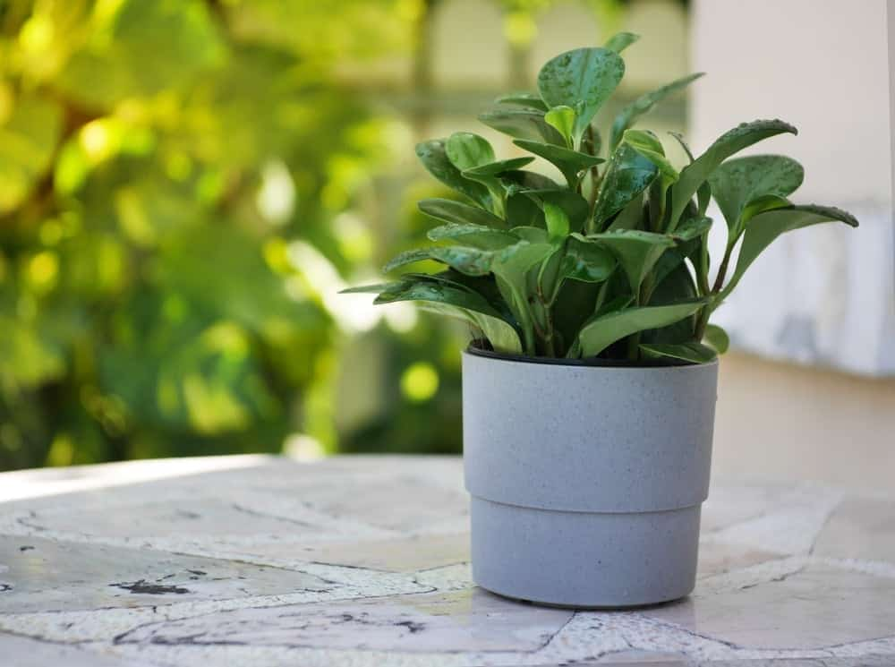 peperomia plant in a pot
