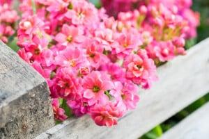 pink Calandiva