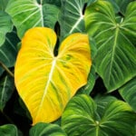 Yellow Philodendron Leaves - Reasons & Treatments
