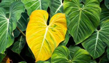 sick Philodendron leaf