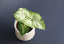 Syngonium Plant Care and Growing Guide