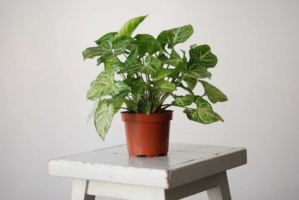 Syngonium Plant In A Pot