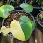 Yellow Homalomena Leaves - Reasons & Treatments