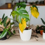 Yellow Monstera Leaves - Reasons & Treatments