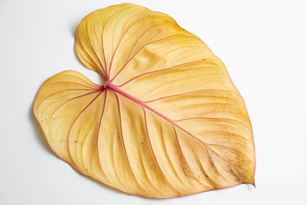 yellow Philodendron leaf