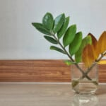 Yellow ZZ Plant Leaves - Reasons & Treatments